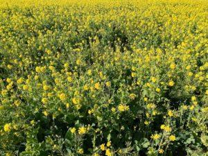 ソレイユの丘 オートキャンプ場 菜の花